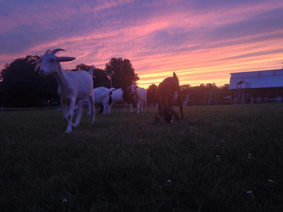 morning goats